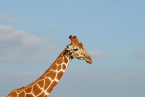 DSC_0248-Giraffe-2